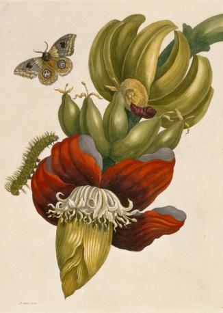 Merian banaan