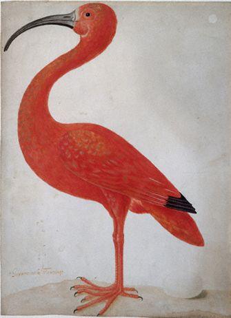 Maria Sibylla Merian, Flamingo